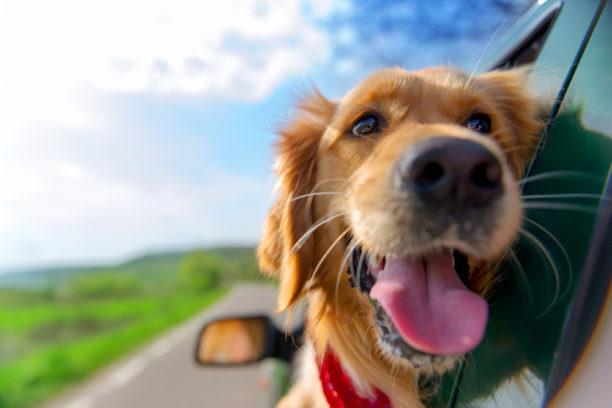 Transporte de mascotas en un vehiculo de alquiler